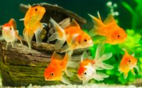 Ornamental Fish Market